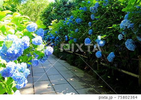 【神奈川】梅雨時の北鎌倉 鮮やかな明月院ブルーのあじさい 75802364