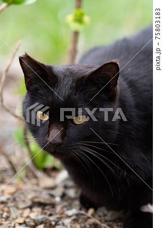 黒猫 75803183