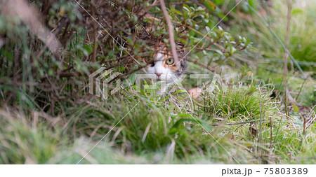 睨む猫 三毛猫 75803389