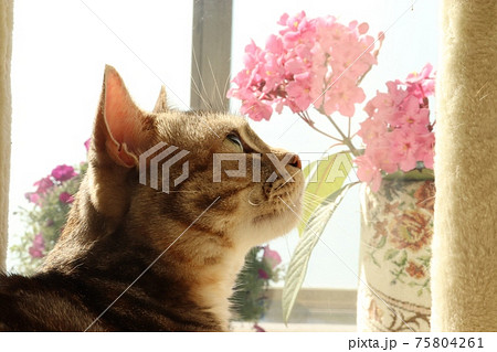 見上げる美しい猫の横顔アメリカンショートヘアシルバーパッチドタビー 75804261