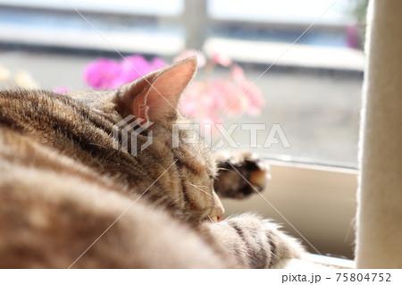 花のある窓辺で寝る猫のアメリカンショートヘアシルバーパッチドタビー 75804752