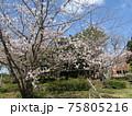 高洲スポーツセンター前染井吉野が満開です 75805216