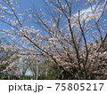 高洲スポーツセンター前染井吉野が満開です 75805217