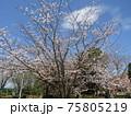 高洲スポーツセンター前染井吉野が満開です 75805219