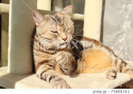 花がムズムズしている表情の猫アメリカンショートヘアシルバーパッチドタビー 75806161