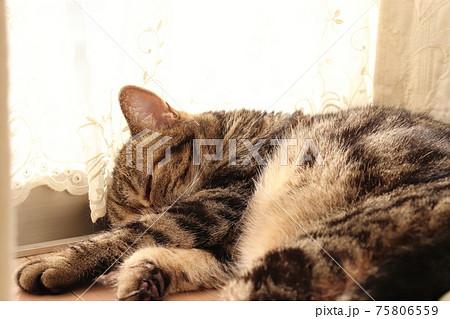 レースカーテン裾で寝るふわふわ猫の横顔アメリカンショートヘアブラウンタビー 75806559