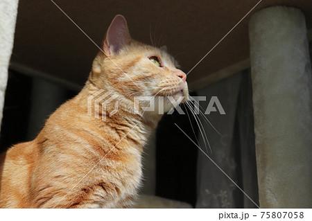 外の様子が気になって見る猫のアメリカンショートヘアレッドタビー 75807058