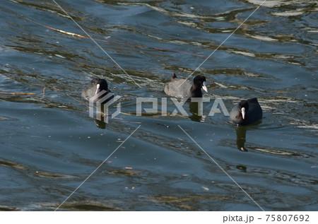 多摩川河口、波立つ水面に三羽の水鳥オオバン 75807692