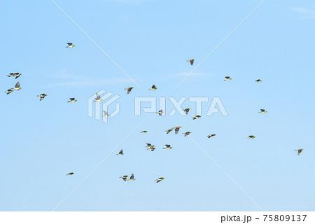 【野鳥】海辺へ向かい飛ぶアオバト 75809137