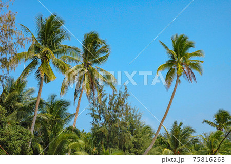 フィリピン、イロイロ島のヤシの木 75816263