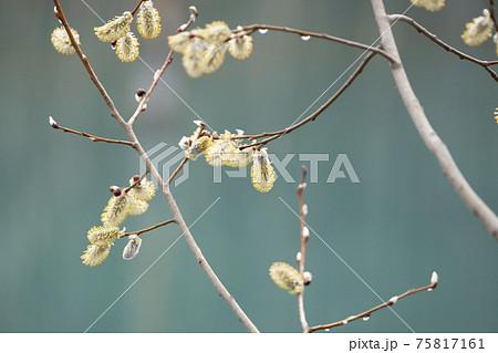 ネコヤナギ_白銀の花序と黄色い雄花序 75817161