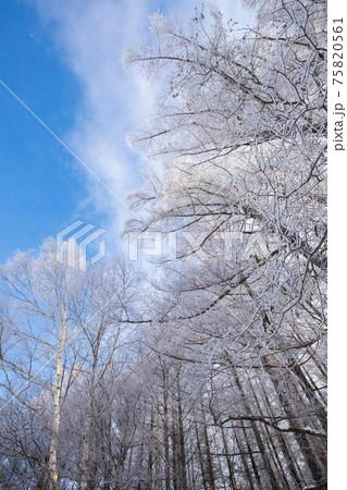 【北海道美瑛町の冬】青空と霧氷の朝 2月 75820561