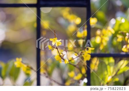 門の鉄格子の間から外に伸びる庭の黄色い小さな花 75822023