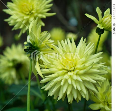 春の植物園にて 黄色いダリアの花 75827584