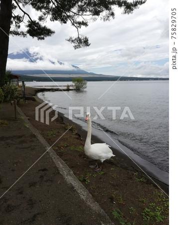 山中湖のキャンプ場の白鳥と富士山(秋:9月) 75829705