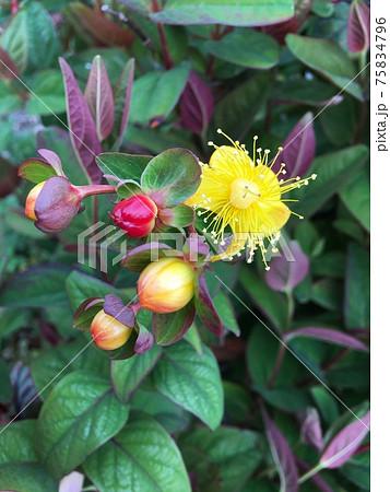 コボウズオトギリの黄色い花と赤い実 75834796