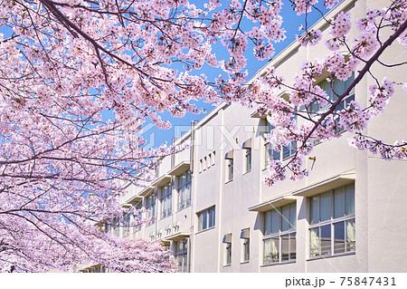 日本の春。満開の桜と校舎のイメージ 75847431