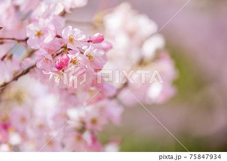京都市伏見区の醍醐寺の風景、桜、満開、花見【3月】 75847934