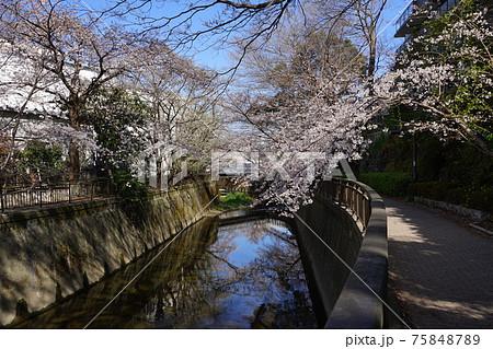 3月 世田谷759仙川の桜並木・東宝スタジオ近辺 75848789