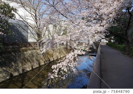3月 世田谷758仙川の桜並木・東宝スタジオ近辺 75848790