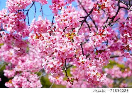 桜の交雑種 陽光桜(ヨウコウザクラ) 75856023