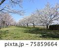 小松川千本桜 75859664
