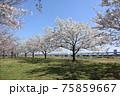 小松川千本桜 75859667