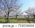 小松川千本桜 75859668
