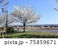 小松川千本桜 75859671