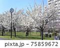 小松川千本桜 75859672