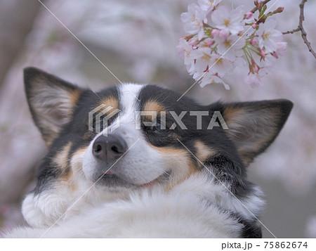 口角を上げて微笑んでいる幸せそうな表情をした黒コーギー と桜の花のクローズアップ 75862674