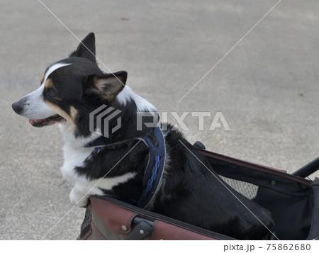 ドッグカートから身を出した黒いコーギー犬の横顔 75862680