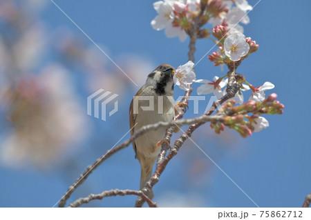 青空とソメイヨシノと口に花を咥えた雀 75862712
