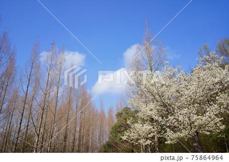 桜と芽吹く前のメタセコイアの木々(香川県三木町太古の森) 75864964