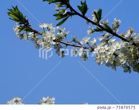 春の青空とスモモの花 75870575