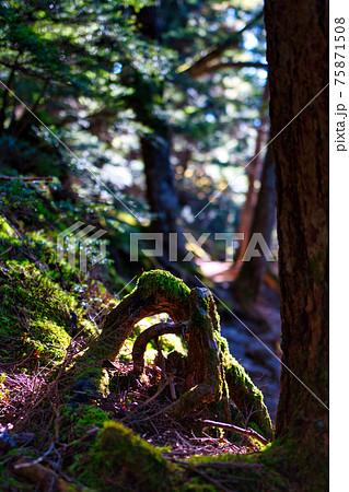 山梨県金峰山の樹林帯の登山道にて、苔と木の根と木漏れ日 75871508