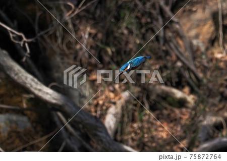 ターゲットめがけて一直線に飛び込むカワセミ オス 75872764