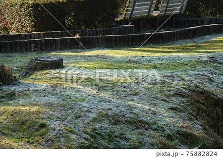 冷え込んだ朝、霜の降りた草むらに朝日を浴びて緑色復活 75882824