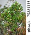 北アルプス・高山植物・アカミノイヌツゲ 75884336