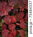 北アルプス・高山植物・オオカメノキ 75884337