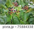 北アルプス・高山植物・オオカメノキ 75884338