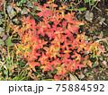 北アルプス・高山植物・イワオトギリ 75884592