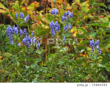 北アルプス・高山植物・トリカブト 75884593
