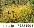 北アルプス・高山植物 75884594