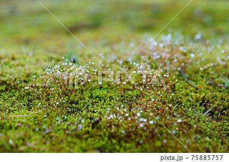 朝露の水滴・苔の胞子 75885757