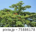 タンザニア・マメ科の樹木 75886178
