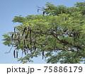 タンザニア・マメ科の樹木 75886179