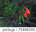 キリマンジャロ・高山植物 75886305