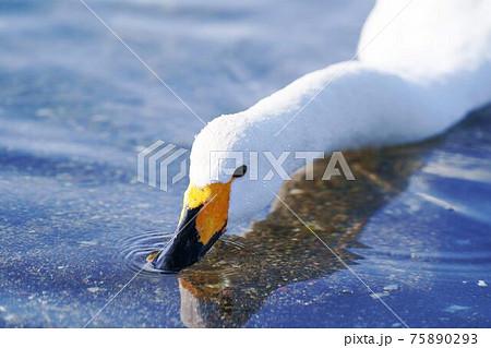 水を飲む一羽の白鳥 北海道 75890293