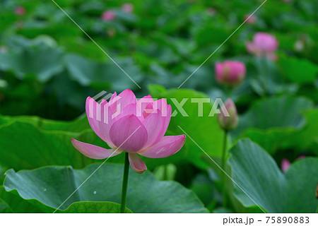 初夏の千葉公園に咲いた大賀蓮 75890883
